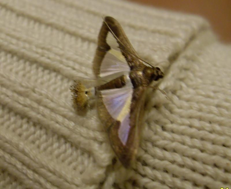 """Papillons de """" chez moi """" Sdc13410"""