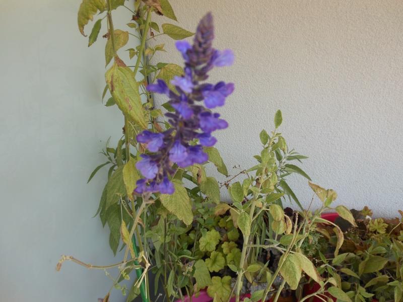 floraisons d'octobre - Page 13 Salvia11