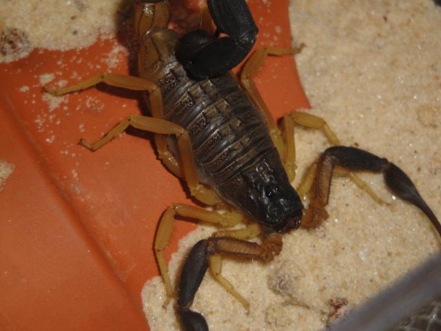 FS: Liocheles australasiae, Hottentotta jayakari and Sicarius sp. Dsc06511