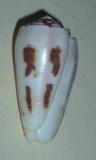 Conus (Pionoconus) striatus   (Linnaeus, 1758)  - Page 4 1077_v10