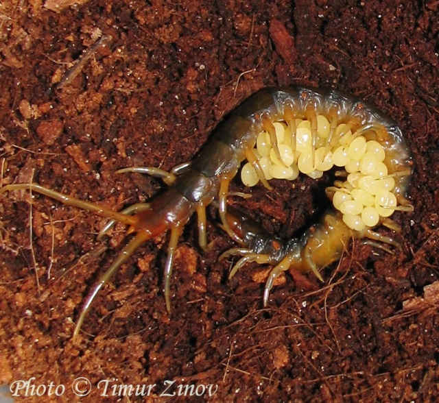 Размножение Scolopendra afer (!) 110