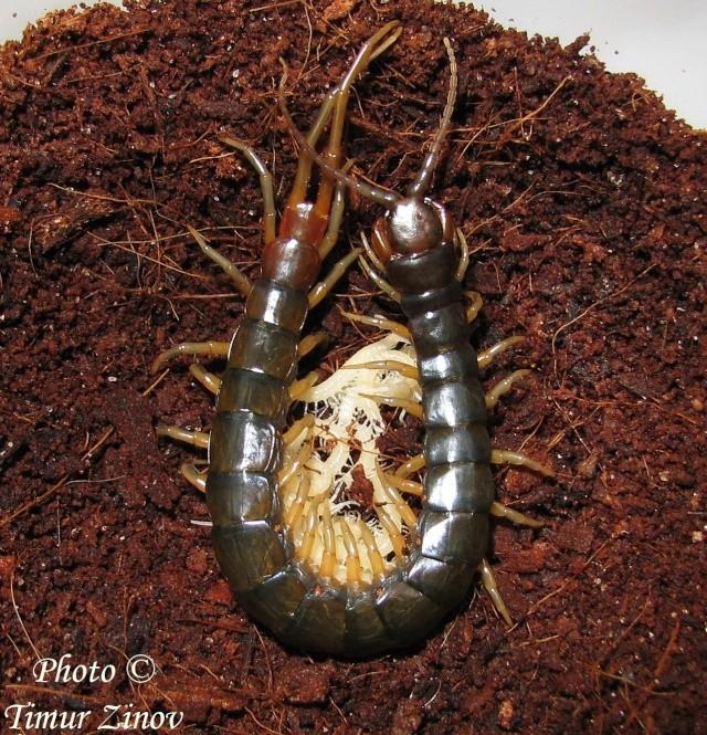 Размножение Scolopendra afer (!) 410