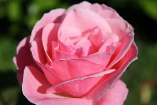 le royaume des rosiers...Vive la Rose ! - Page 13 Img_2410