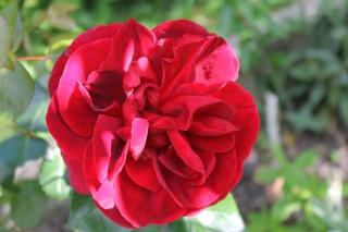 le royaume des rosiers...Vive la Rose ! - Page 13 Img_2412