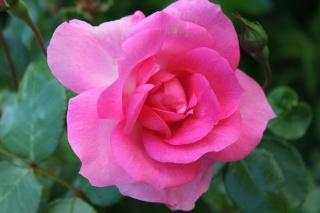 le royaume des rosiers...Vive la Rose ! - Page 13 Img_2413