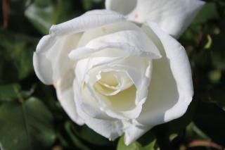 le royaume des rosiers...Vive la Rose ! - Page 13 Img_2414
