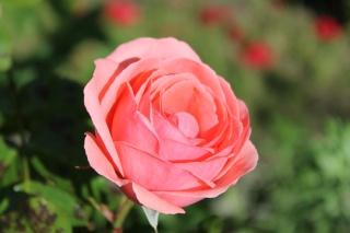le royaume des rosiers...Vive la Rose ! - Page 13 Img_2415
