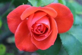 le royaume des rosiers...Vive la Rose ! - Page 13 Img_2416