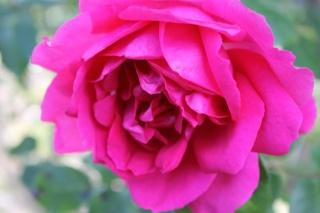 le royaume des rosiers...Vive la Rose ! - Page 13 Img_2418