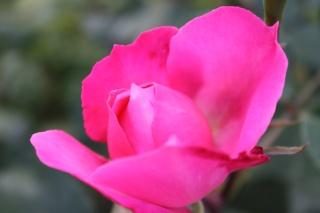 le royaume des rosiers...Vive la Rose ! - Page 13 Img_2419