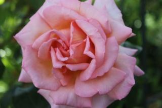 le royaume des rosiers...Vive la Rose ! - Page 13 Img_2421