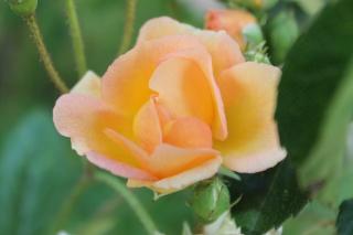 le royaume des rosiers...Vive la Rose ! - Page 13 Img_2422