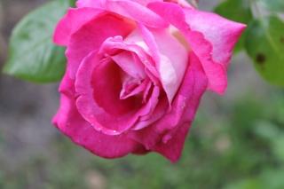 le royaume des rosiers...Vive la Rose ! - Page 13 Img_2423