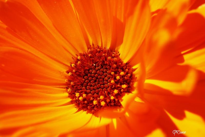Fleurs ... tout simplement - Page 39 Fleur_11