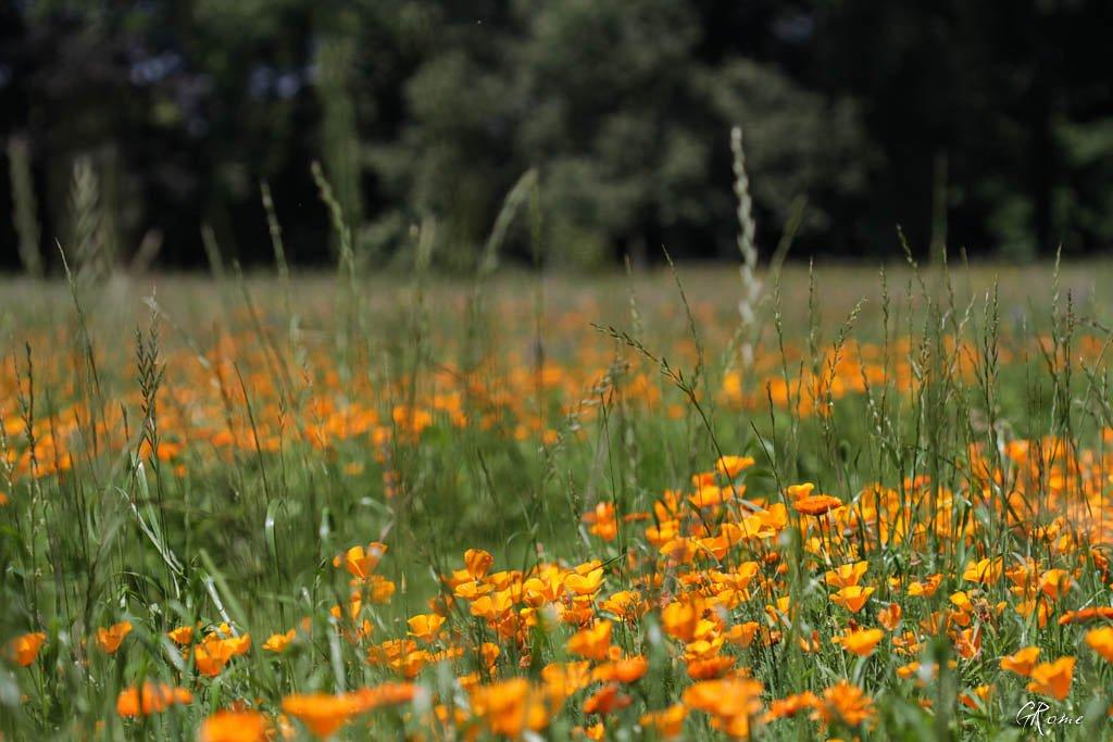 Fleurs ... tout simplement - Page 39 Fleur_13