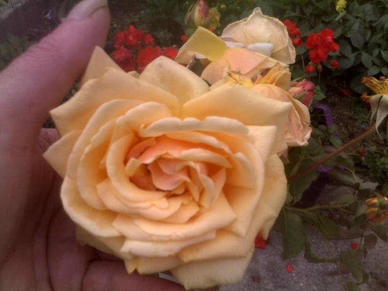 Rosier Rose_110