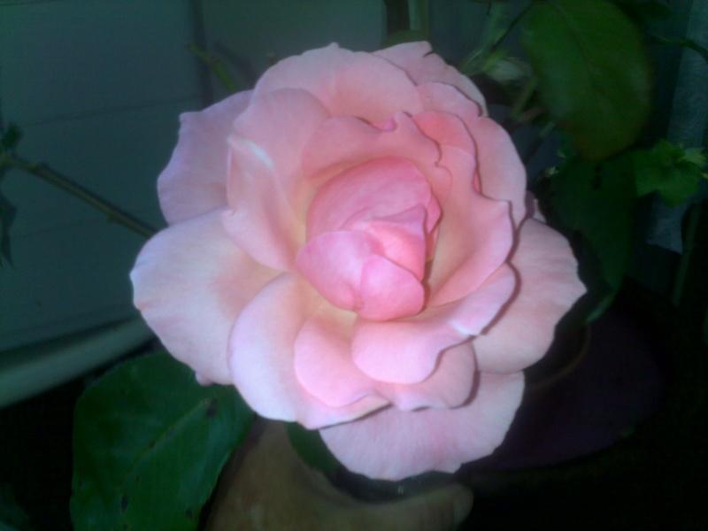 Petite présentation de mes boutures de rosier 2014 - Page 2 Rose_b10