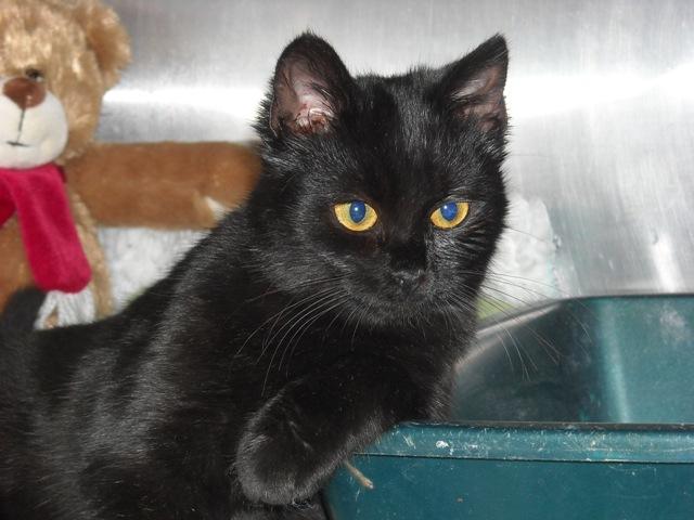 Petite chatte 5 mois bassin fracturé à Douai (59) Copie_33