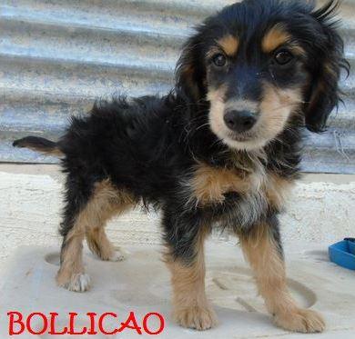 BOLLICAO - CHIOT D'UNE FRATRIE Bollic10