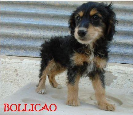 BOLLICAO - CHIOT D'UNE FRATRIE Bollic11