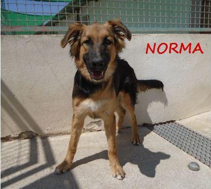 NORMA (devenue KINA) jolie croisée berger allemand, noire et feu, 8 mois - URGENT Norma_10