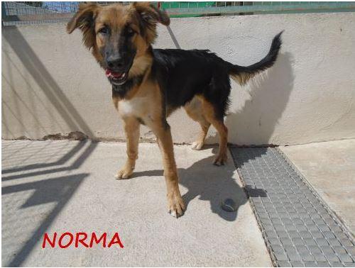 NORMA (devenue KINA) jolie croisée berger allemand, noire et feu, 8 mois - URGENT Norma_11