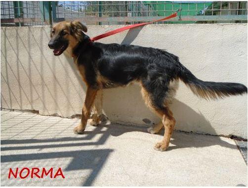 NORMA (devenue KINA) jolie croisée berger allemand, noire et feu, 8 mois - URGENT Norma_12