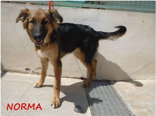 NORMA (devenue KINA) jolie croisée berger allemand, noire et feu, 8 mois - URGENT Norma_13