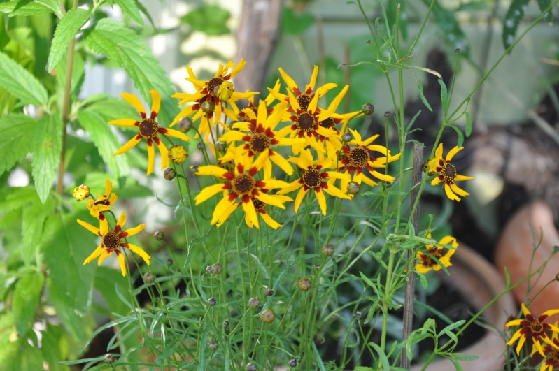 "Coreopsis ""Goldstrahl"" 01110"