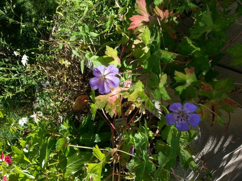 "Geranium wallichianum ""Buxton's Blue"" 20140915"