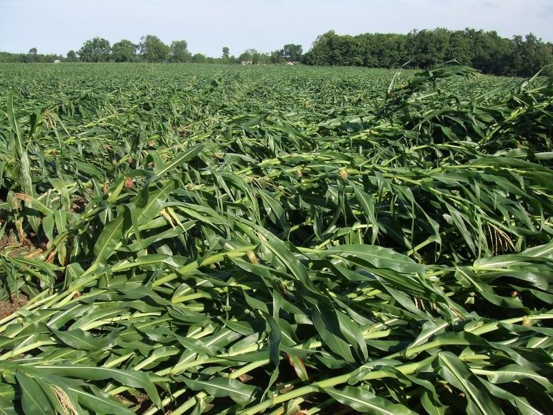 semis de maïs 2013  Tempat10