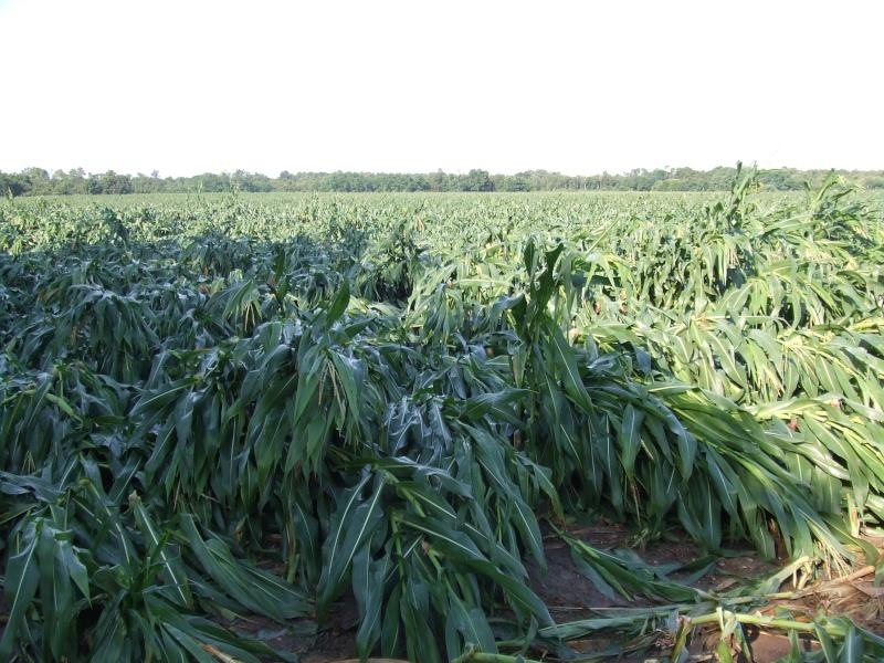 semis de maïs 2013  Tempat12