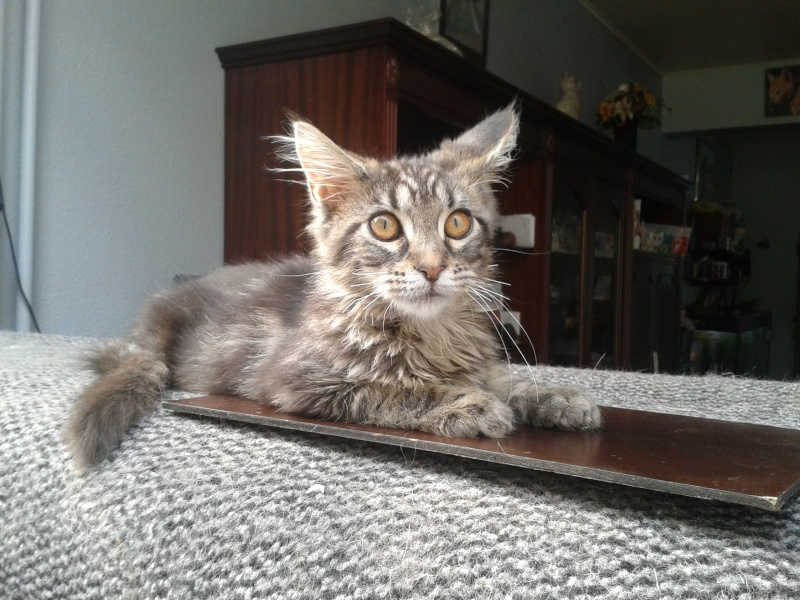 Le Maine Coon - Page 2 20140818