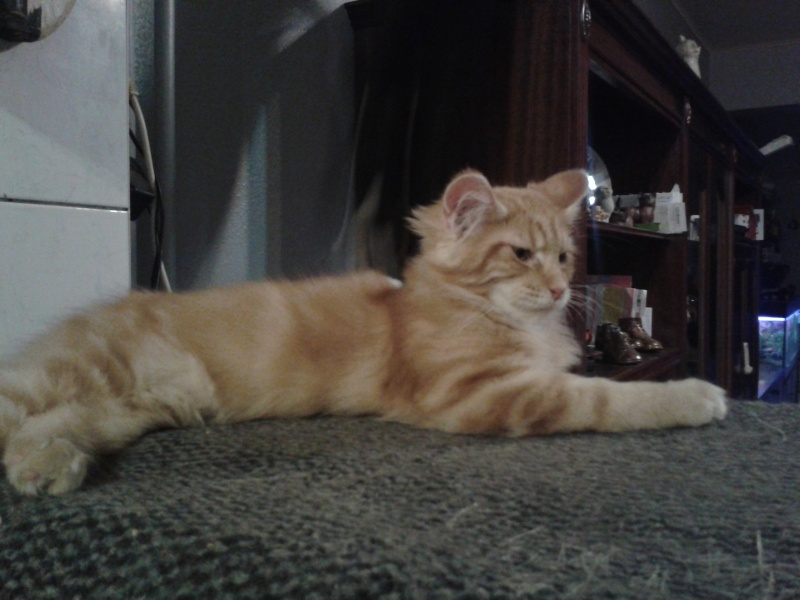 Le Maine Coon - Page 2 20141211