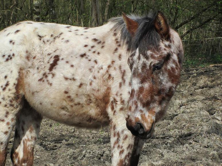 Jeune cheval bay near leopard - 77 Colora11