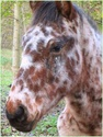 Jeune cheval bay near leopard - 77 Portra12