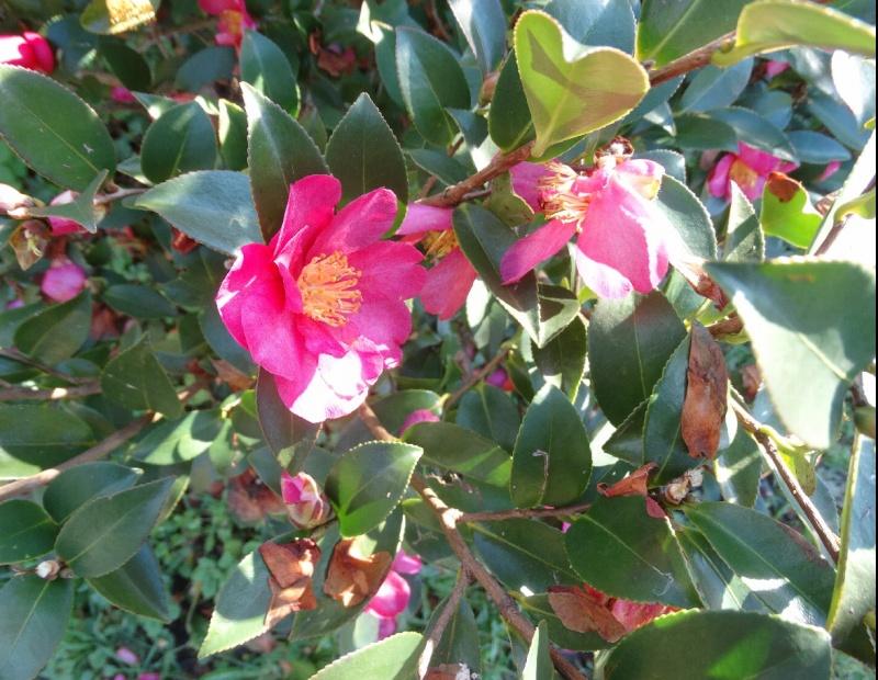 Les fleurs de nos jardins Captur10