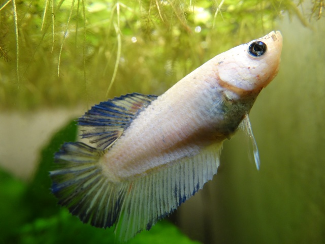 Pearl (SD bleu pastel marbré) Dsc05210
