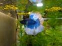Bettas de chez lilou... Dsc00110