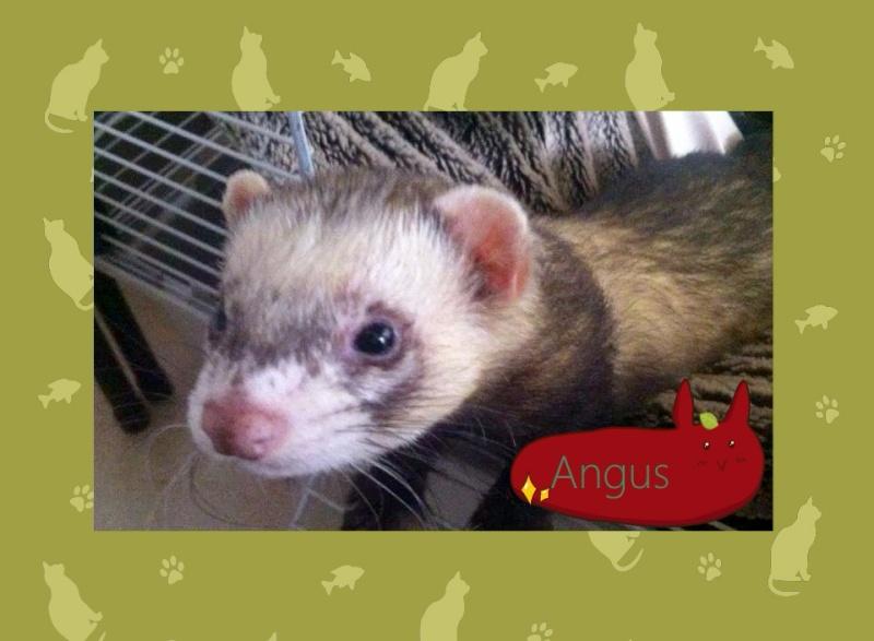 Angus, mâle putoisé 10721310
