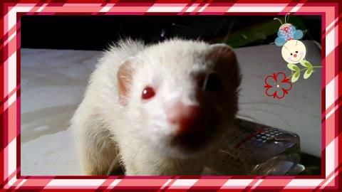 Fantomette (rebaptisée Cocaïne), femelle albinos 10728611
