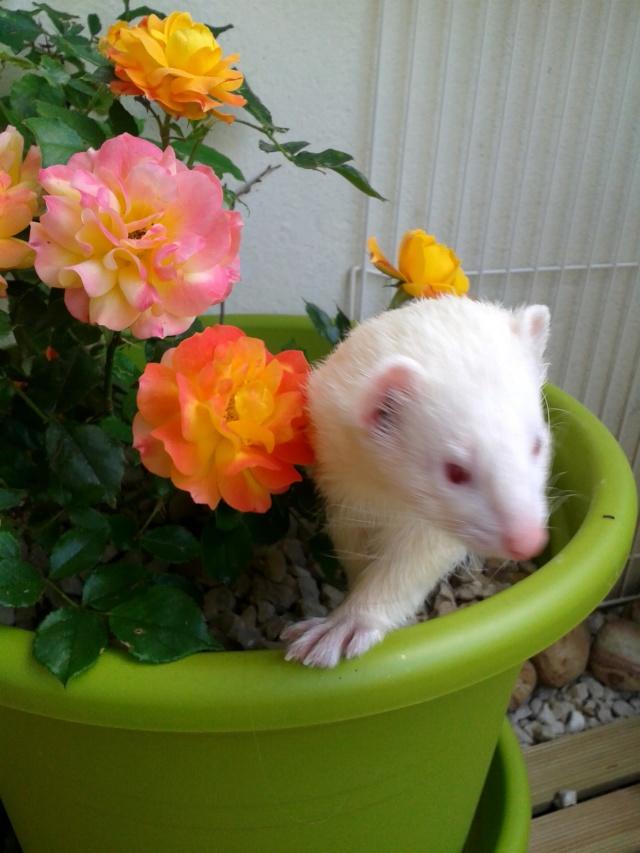 """[Décédé] Crapule (dit """"p'tit doudou""""), mâle albinos - Page 5 Doudou13"""