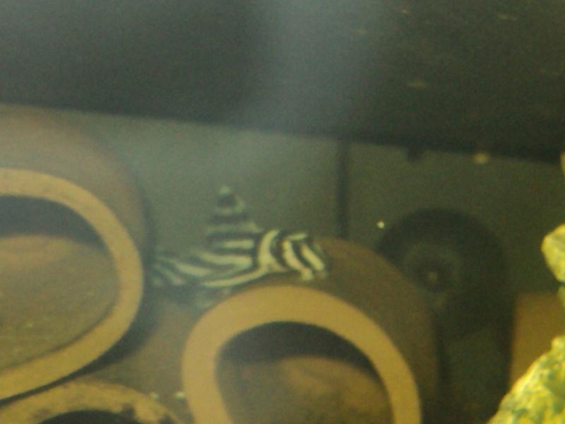 100 litres Hypancistrus Zebra L46 du RIO XINGU! L46_f210
