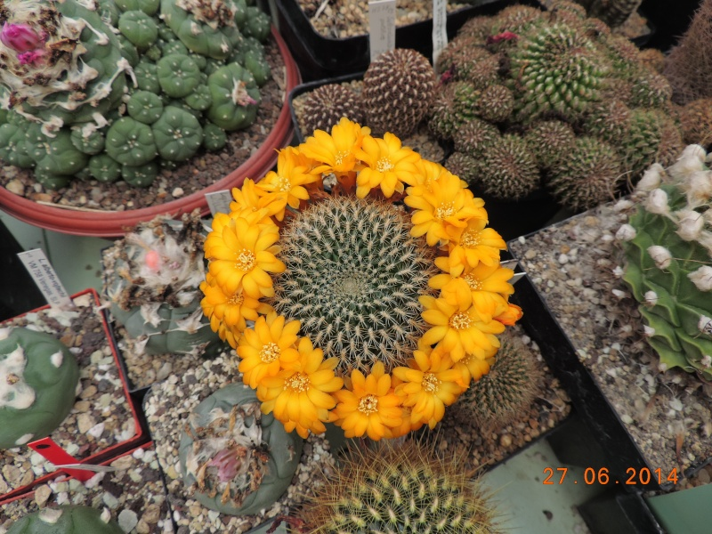 Cacti and Sukkulent in Köln, every day new flowers in the greenhouse Part 103 Bild1008