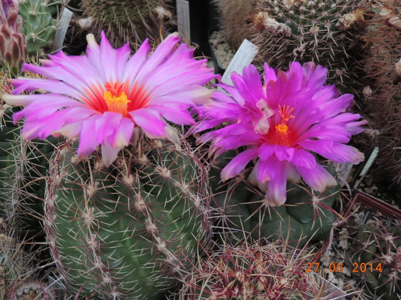 Cacti and Sukkulent in Köln, every day new flowers in the greenhouse Part 103 Bild1015