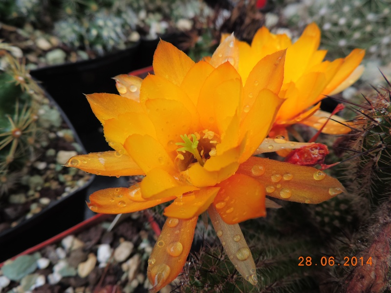 Cacti and Sukkulent in Köln, every day new flowers in the greenhouse Part 103 Bild1075