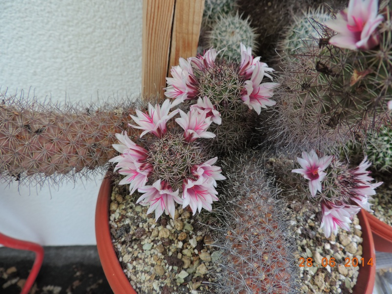 Cacti and Sukkulent in Köln, every day new flowers in the greenhouse Part 103 Bild1080