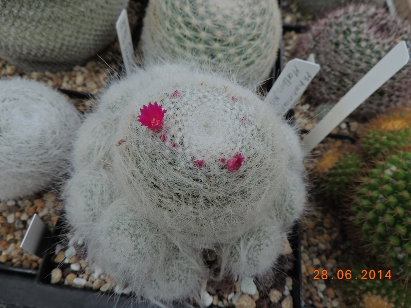 Cacti and Sukkulent in Köln, every day new flowers in the greenhouse Part 103 Bild1082