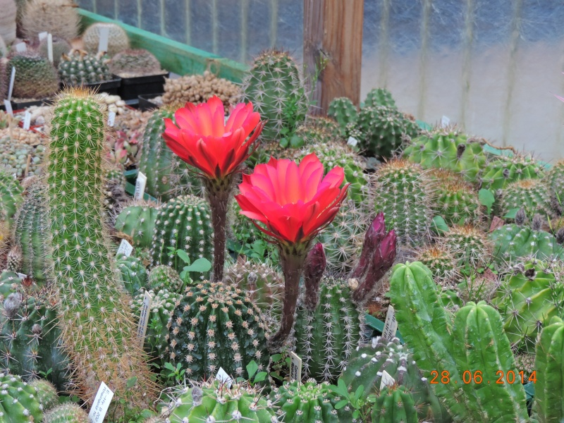Cacti and Sukkulent in Köln, every day new flowers in the greenhouse Part 103 Bild1084
