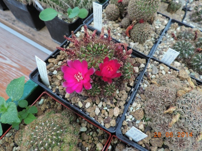 Cacti and Sukkulent in Köln, every day new flowers in the greenhouse Part 103 Bild1087
